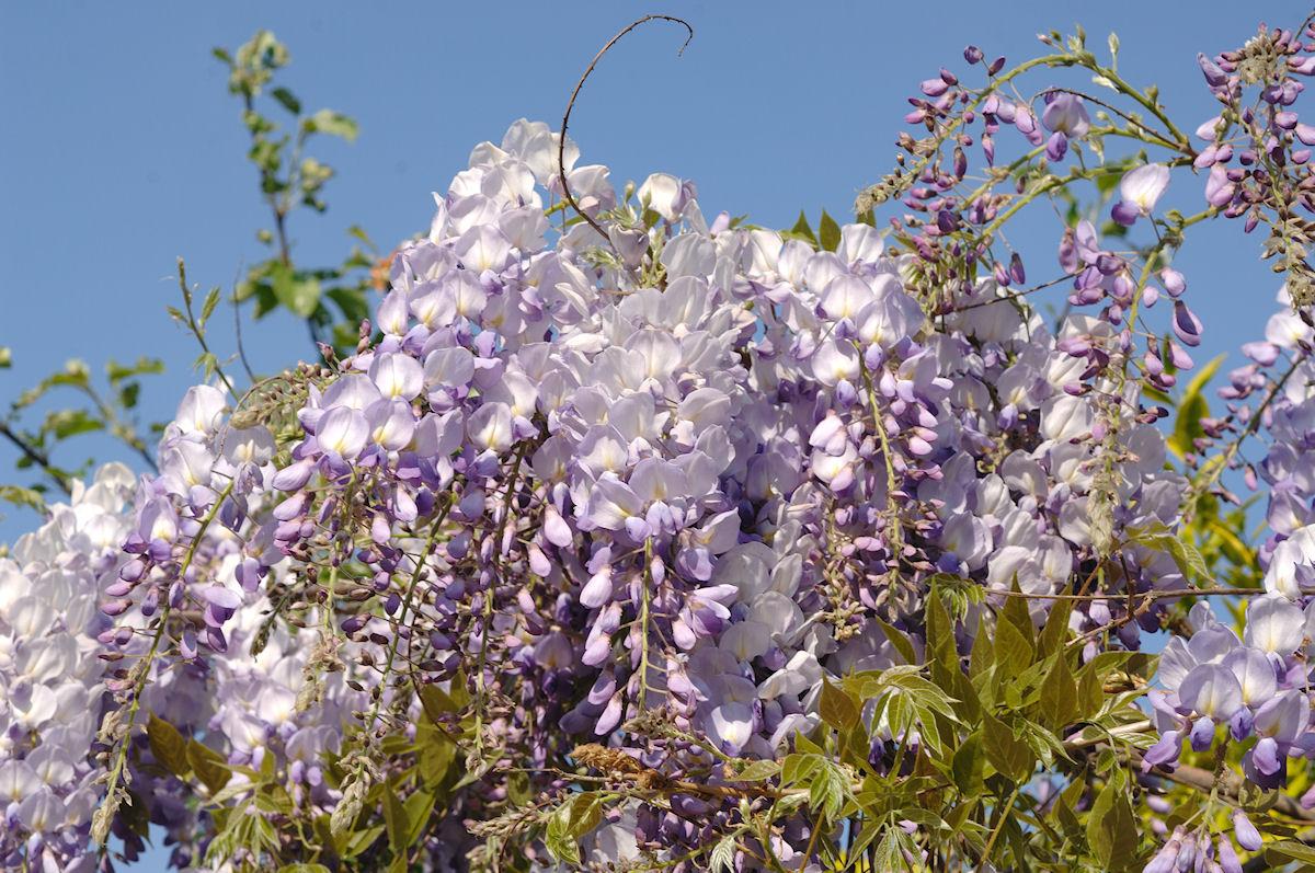 Botanikus: Glycinie