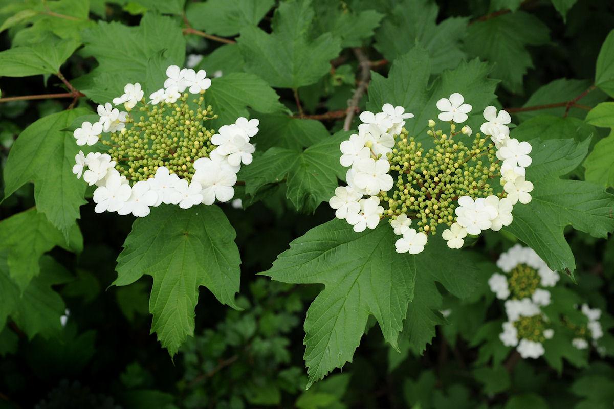 Botanikus Schneeball