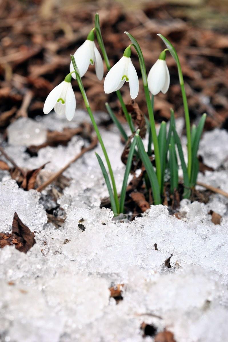 Schneeglöckchen Naturschutz