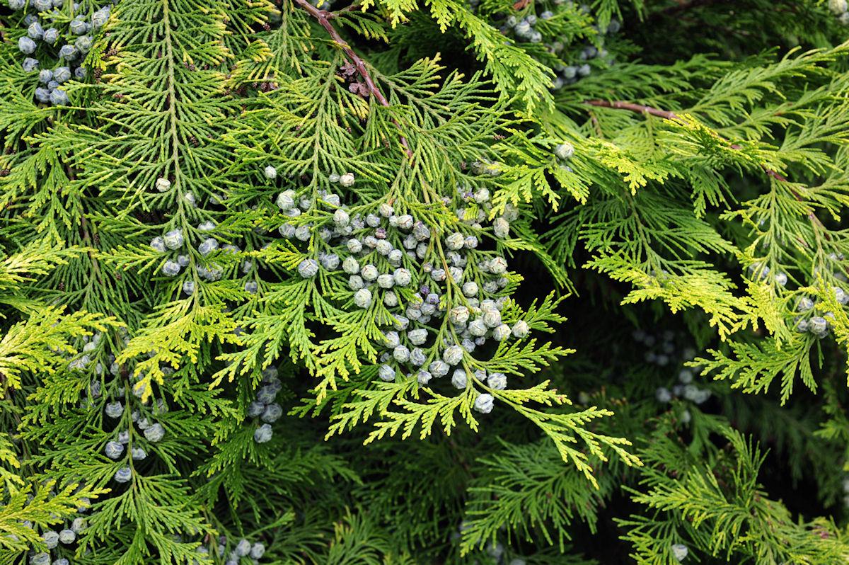 Botanikus Lebensbaum