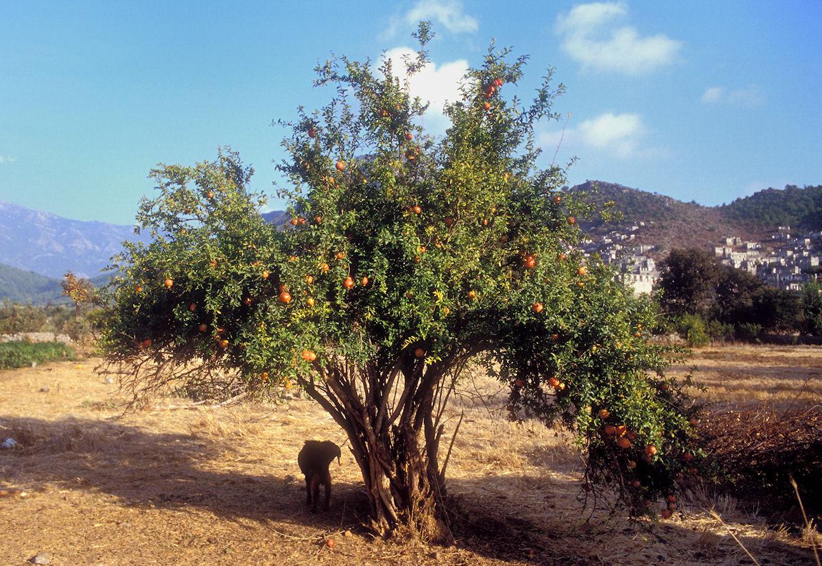 botanikus granatapfelbaum