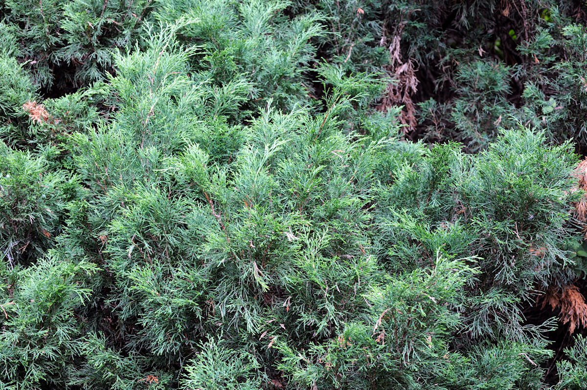 botanikus: sadebaum